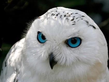 snowy-owl-with-blue-eyes