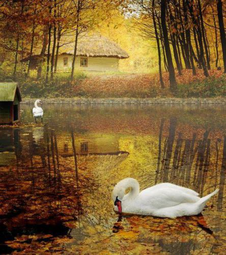 swans-in-an-autumn-lake
