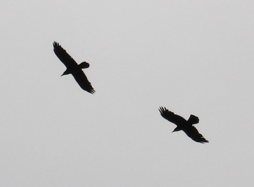 two-ravens-flying